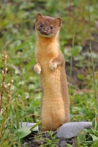 weasel5