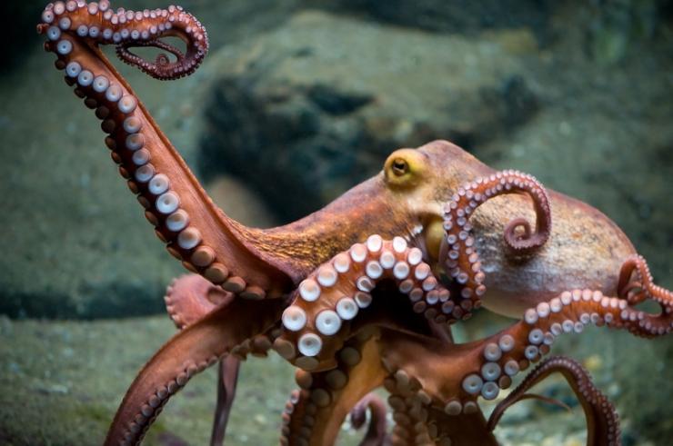 dancing-octopus